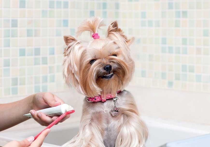Cachorro mostra os dentes para veterinária escovar